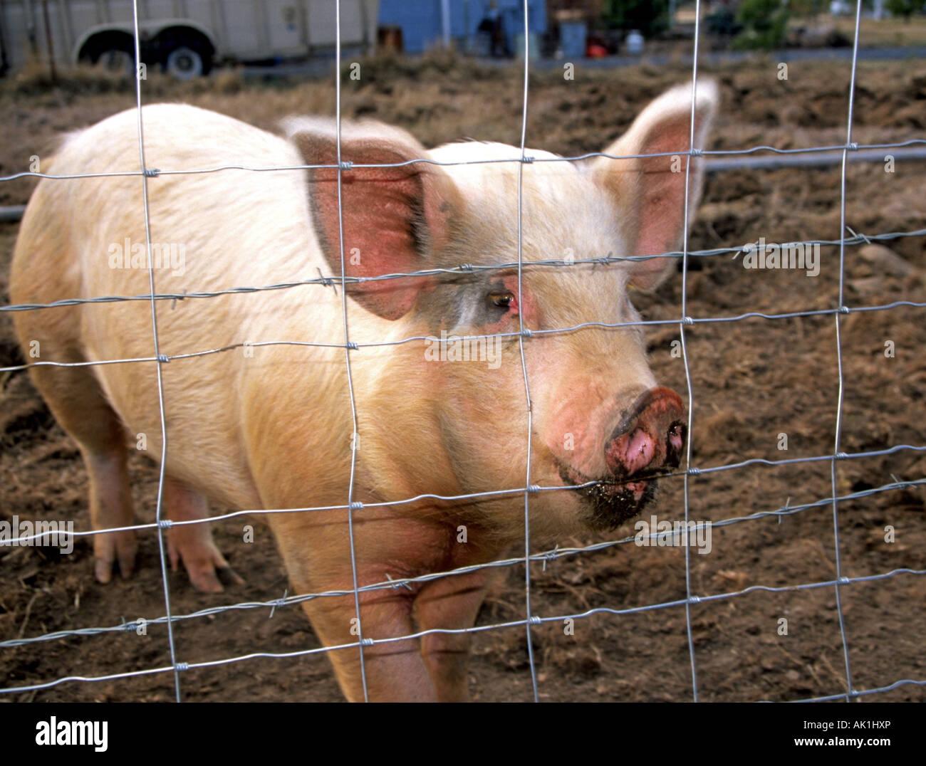 Nett Schweine Draht Panels Bilder - Schaltplan Serie Circuit ...