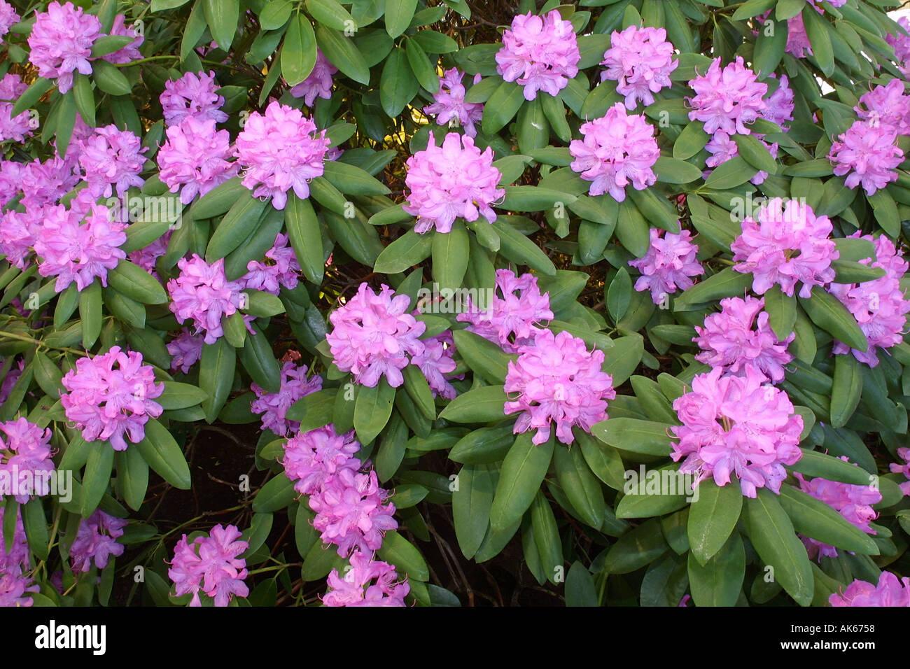 Rhododendron Rhododendron Spec Straeucher Strauch Sträucher