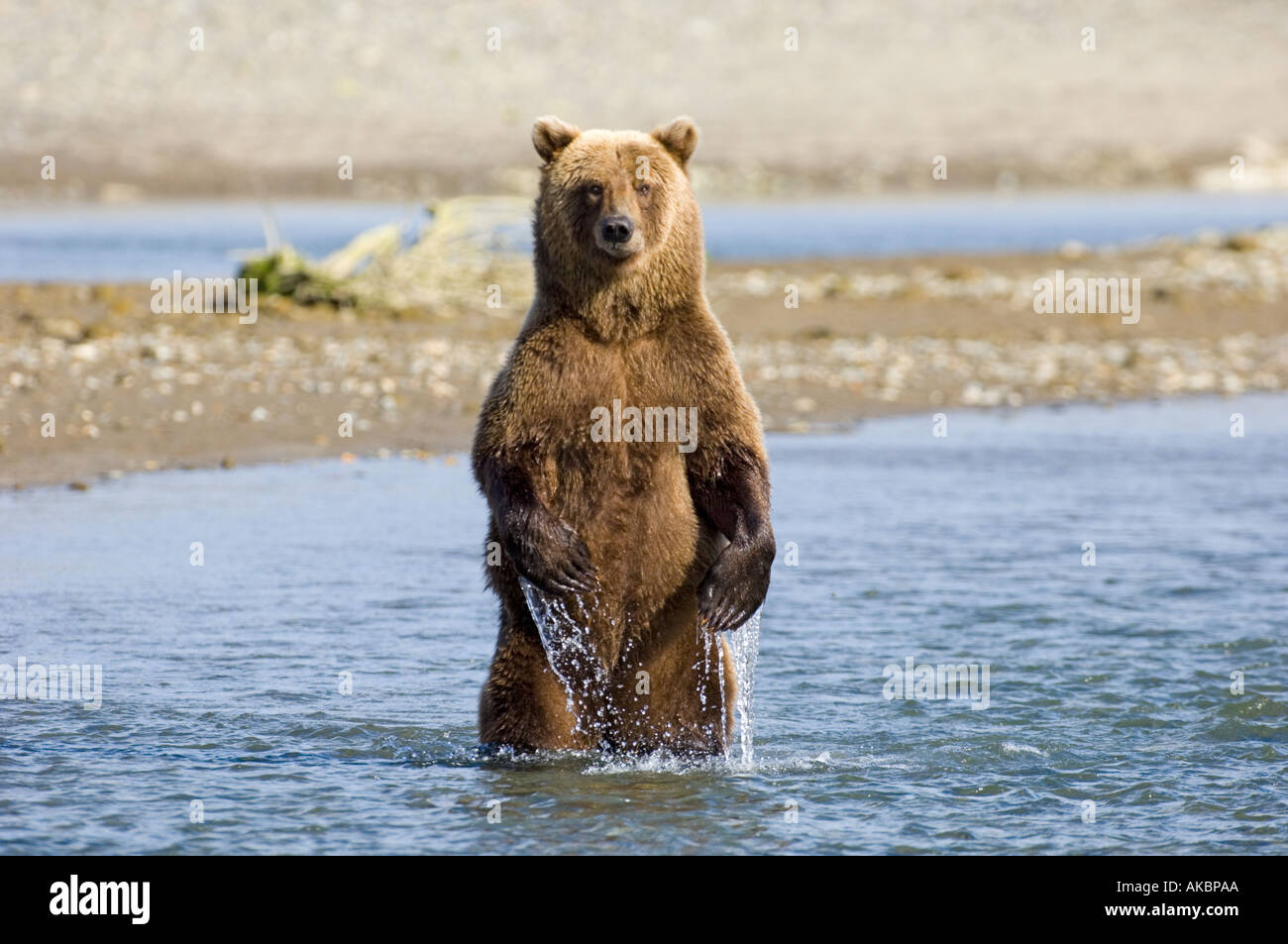 Braun Grizzly Bear Ursor Arctos Katmai Alaska August Stockfoto