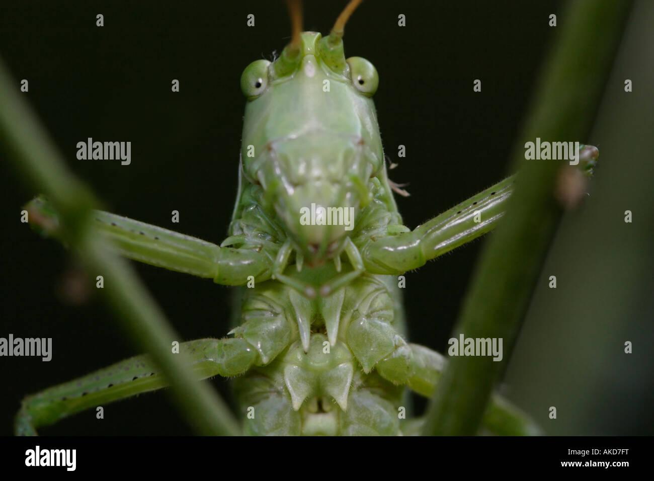 Grasshopper (Tettigonia Viridissima). Dies ist eine Nahaufnahme der Heuschrecke-Porträt Stockbild