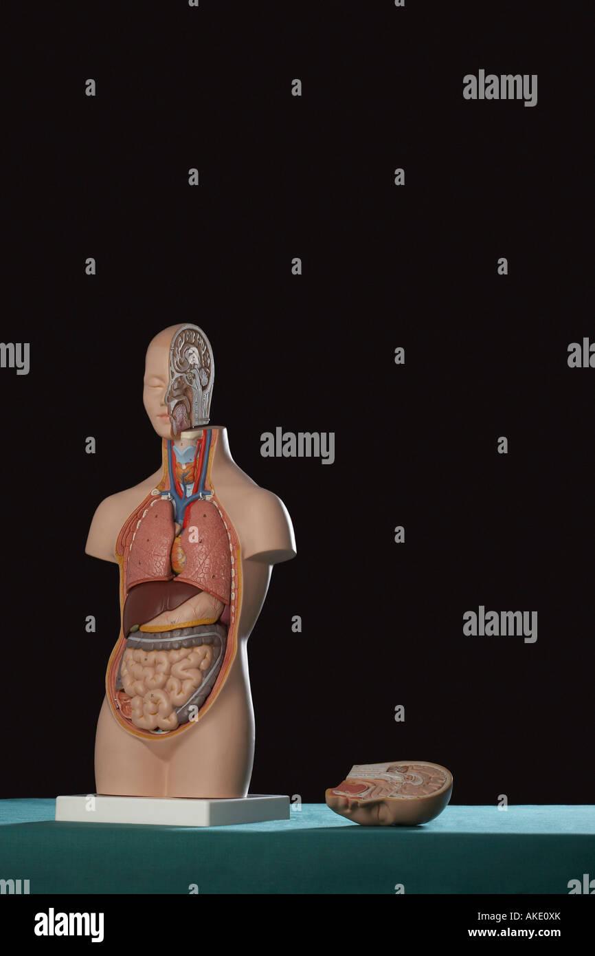 Menschliche Anatomie Modell Stockfoto, Bild: 14971578 - Alamy