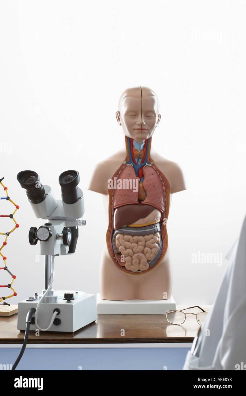 Menschliche Anatomie Modell und Mikroskop Stockfoto, Bild: 14971597 ...
