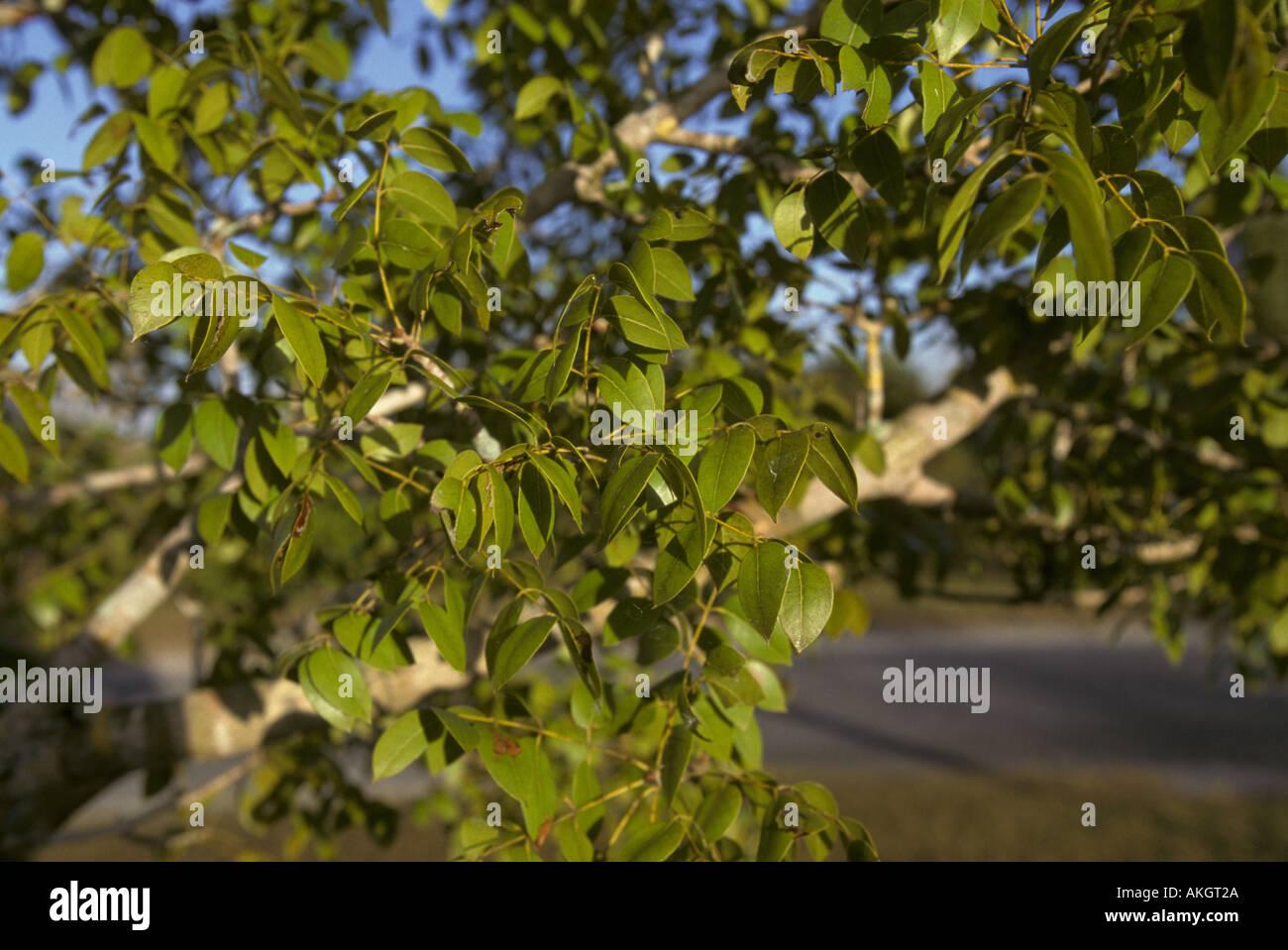 Zebrano baum blatt  Mahogany Tree Stockfotos & Mahogany Tree Bilder - Seite 3 - Alamy