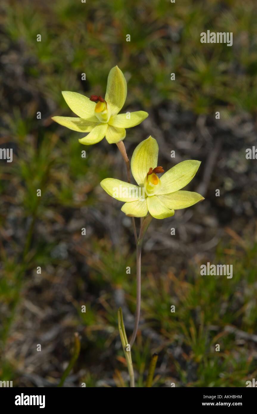 zitrone duftenden blumen der sonne orchidee vanille orchidee thelymitra antennifera john. Black Bedroom Furniture Sets. Home Design Ideas