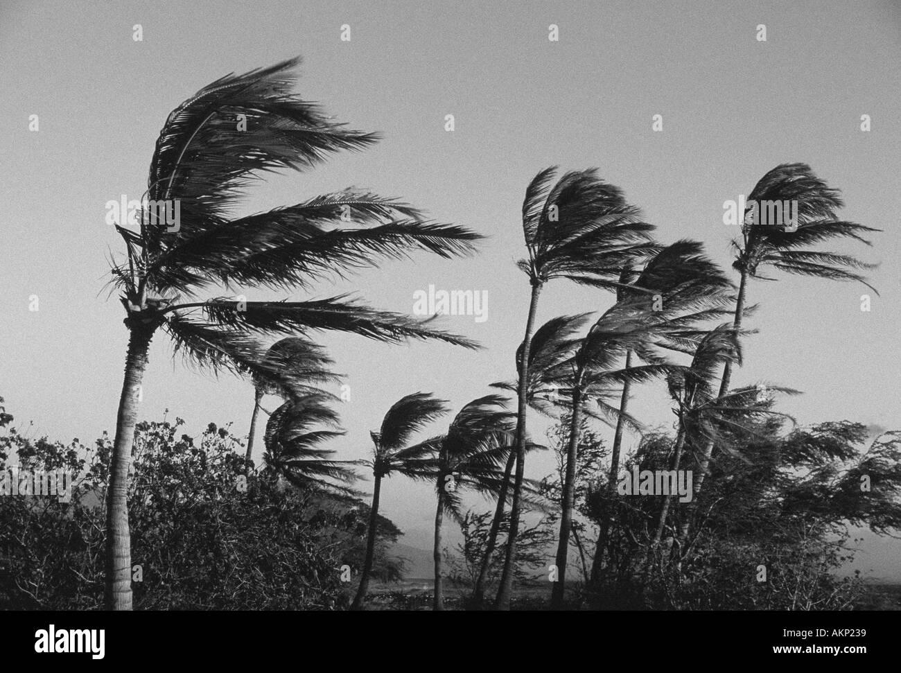 Starke Winde biegen Palmen auf der Westseite von Maui. Stockbild