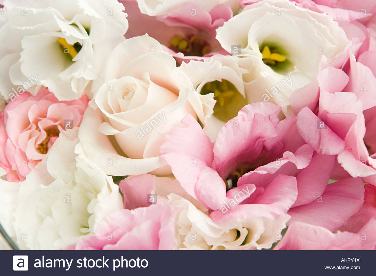 Nahaufnahme von Rosenblüten Stockbild