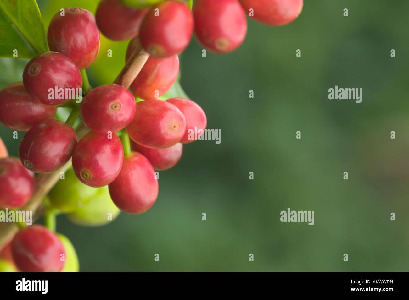 Reife Kona Kaffee Bohnen auf Ast. Stockbild