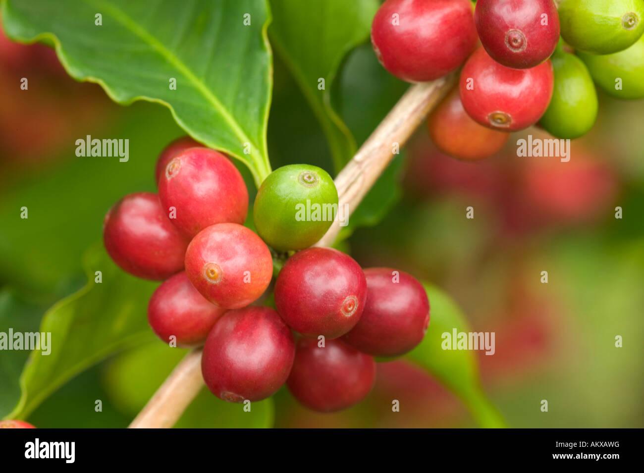 Reifen Sie Kona Kaffeebohnen auf Ast. Stockbild