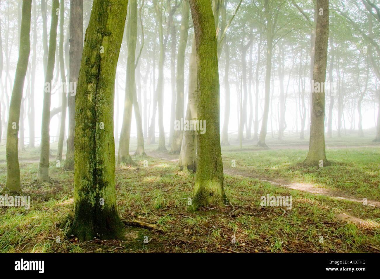 Lucent Wald mit Nebel Stockbild
