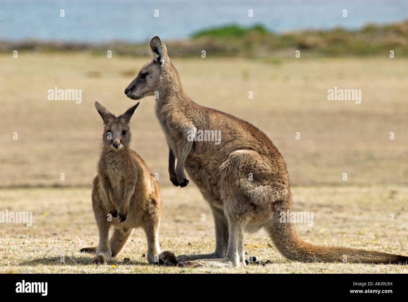 Känguruh Stockfotos & Känguruh Bilder - Alamy