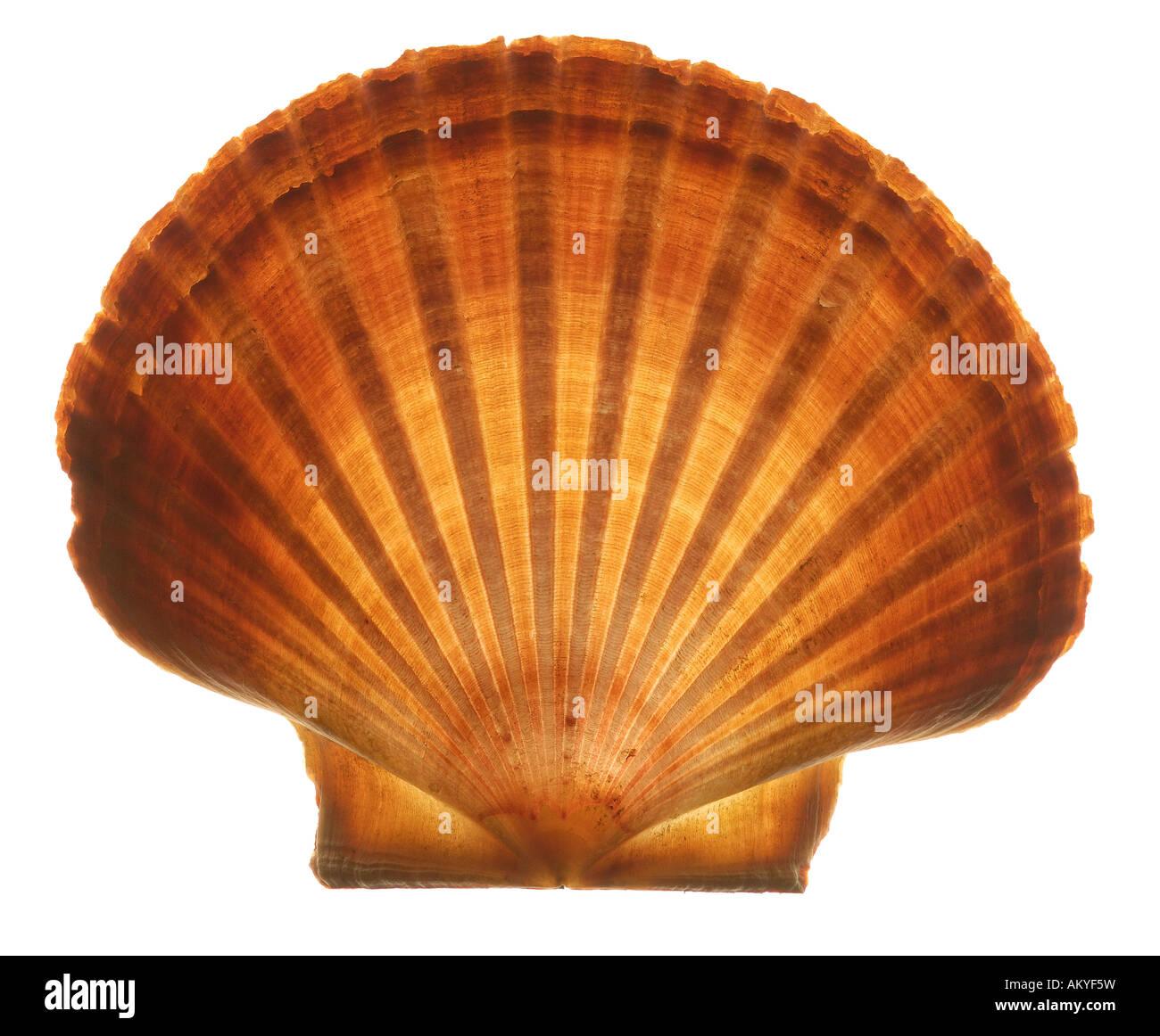 Muschel Stockbild