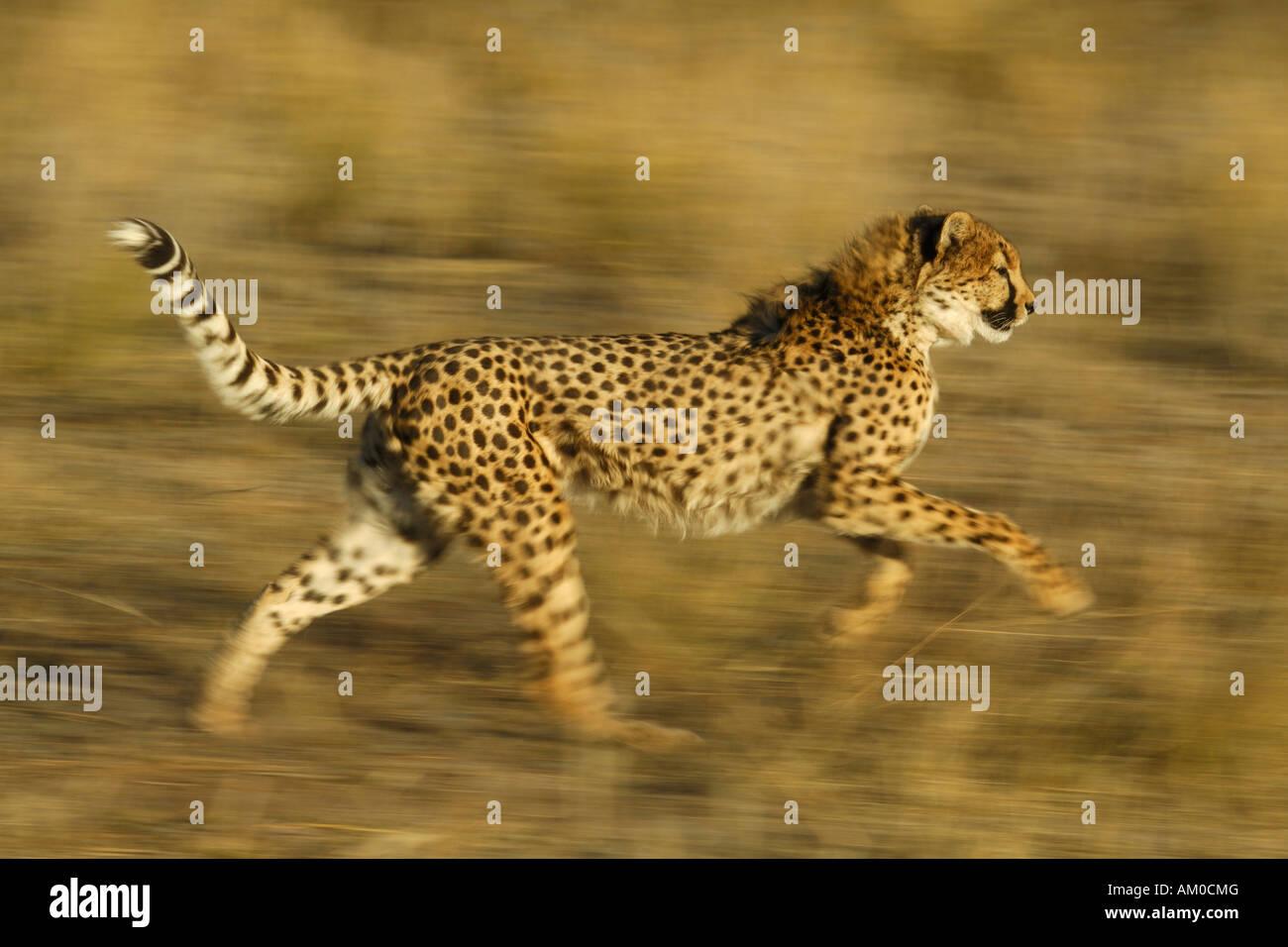 Gepard (Acinonyx Jubatus), laufen Stockbild