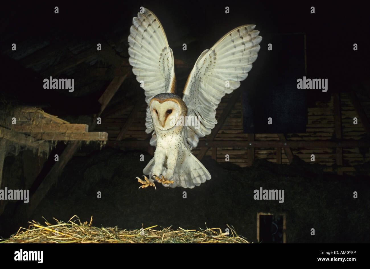 Schleiereule, Tyto Alba, Landung Stockbild
