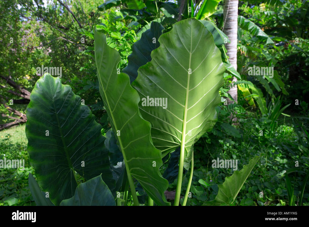 jungle leaves stockfotos jungle leaves bilder alamy. Black Bedroom Furniture Sets. Home Design Ideas