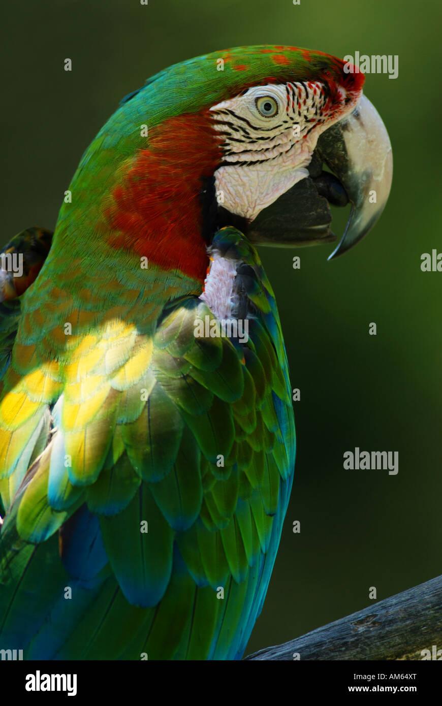 Große grüne Aras (Ara Ambiguus) Stockbild