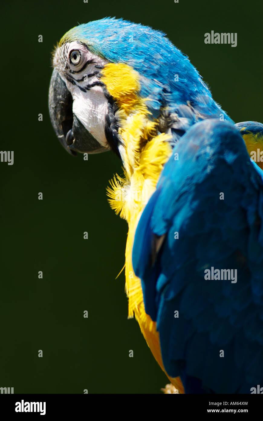 Blaue und gelbe Aras (Ara Ararauna) Stockbild