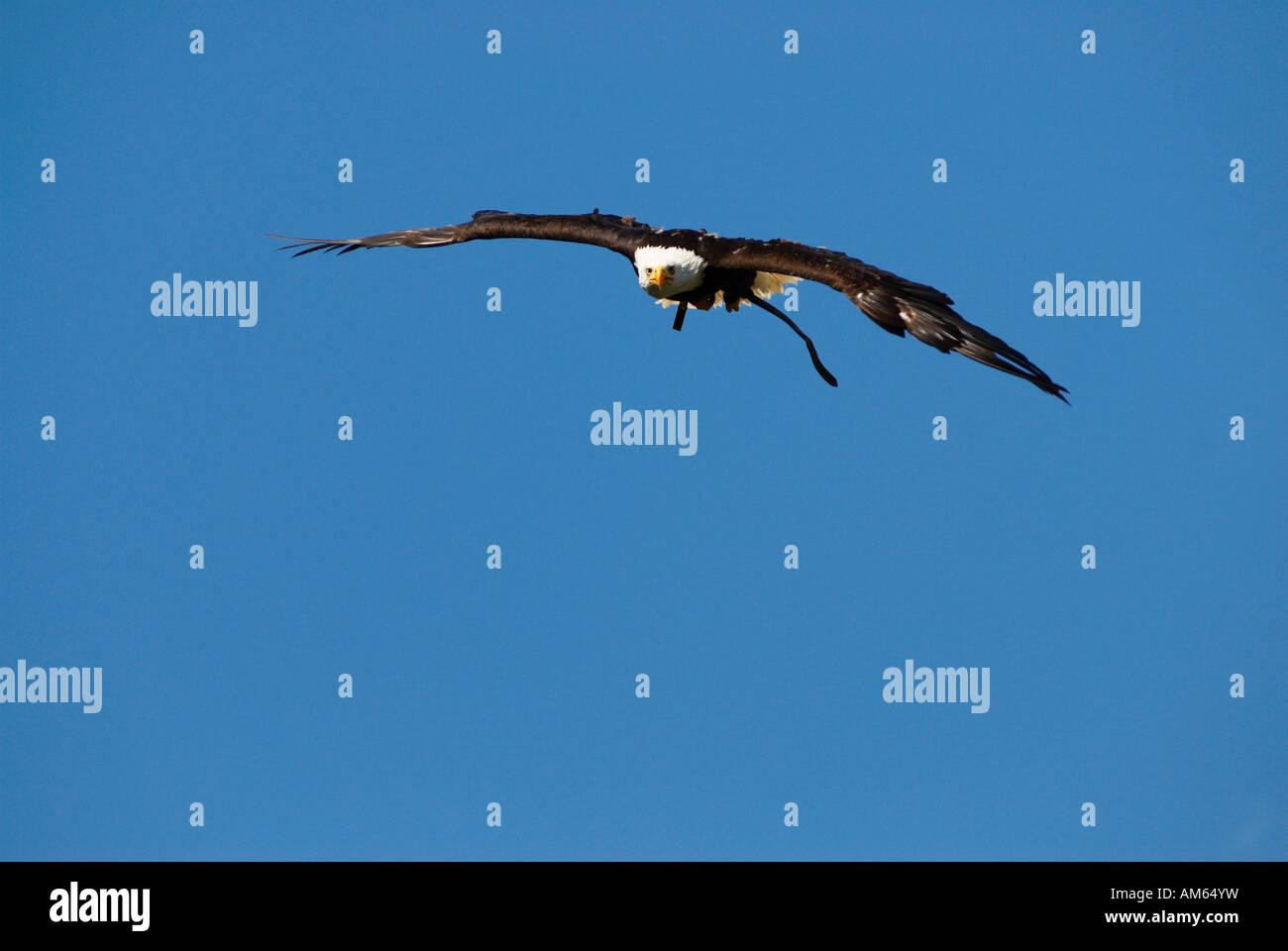 Weißkopf-Seeadler (Haliaeetus Leucocephalus) fliegen Stockbild