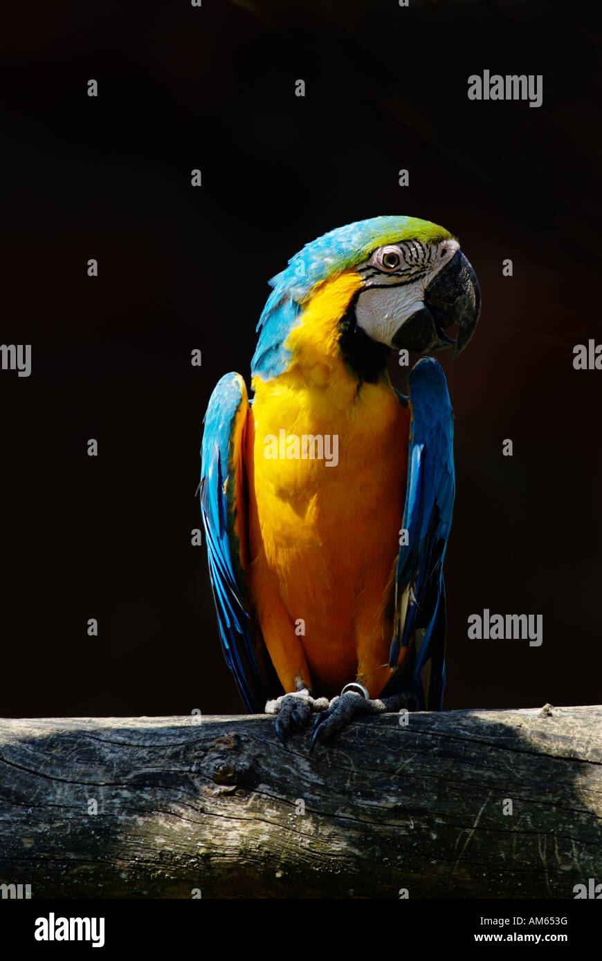 Blau-gelbe Ara (Ara Ararauna) Stockbild
