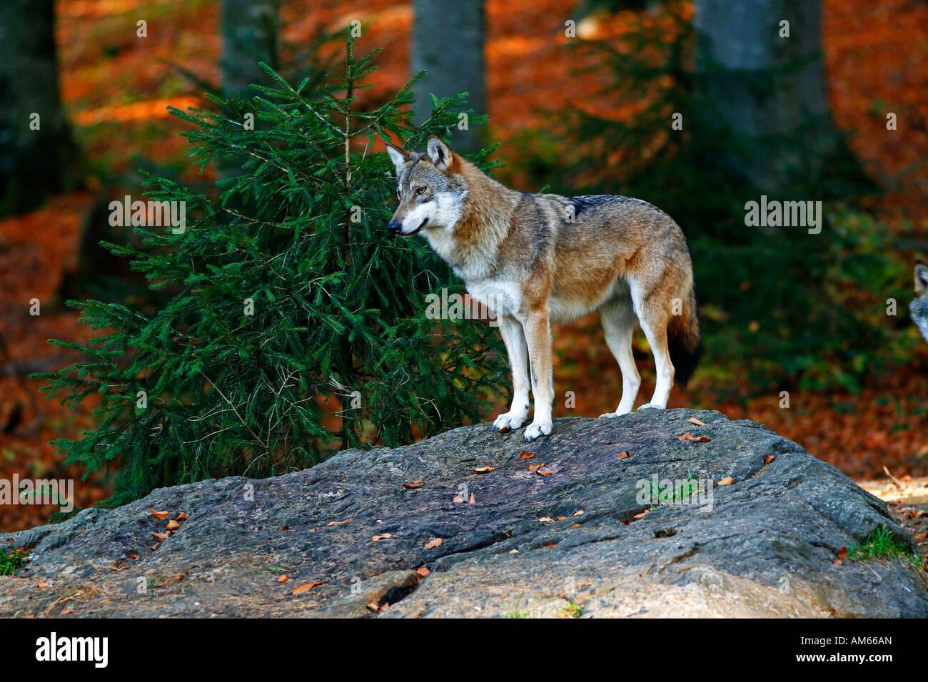 Grauer Wolf (Canis Lupus) in herbstliche Landschaft, Freigehege Bayerischer Wald, Deutschland Stockbild