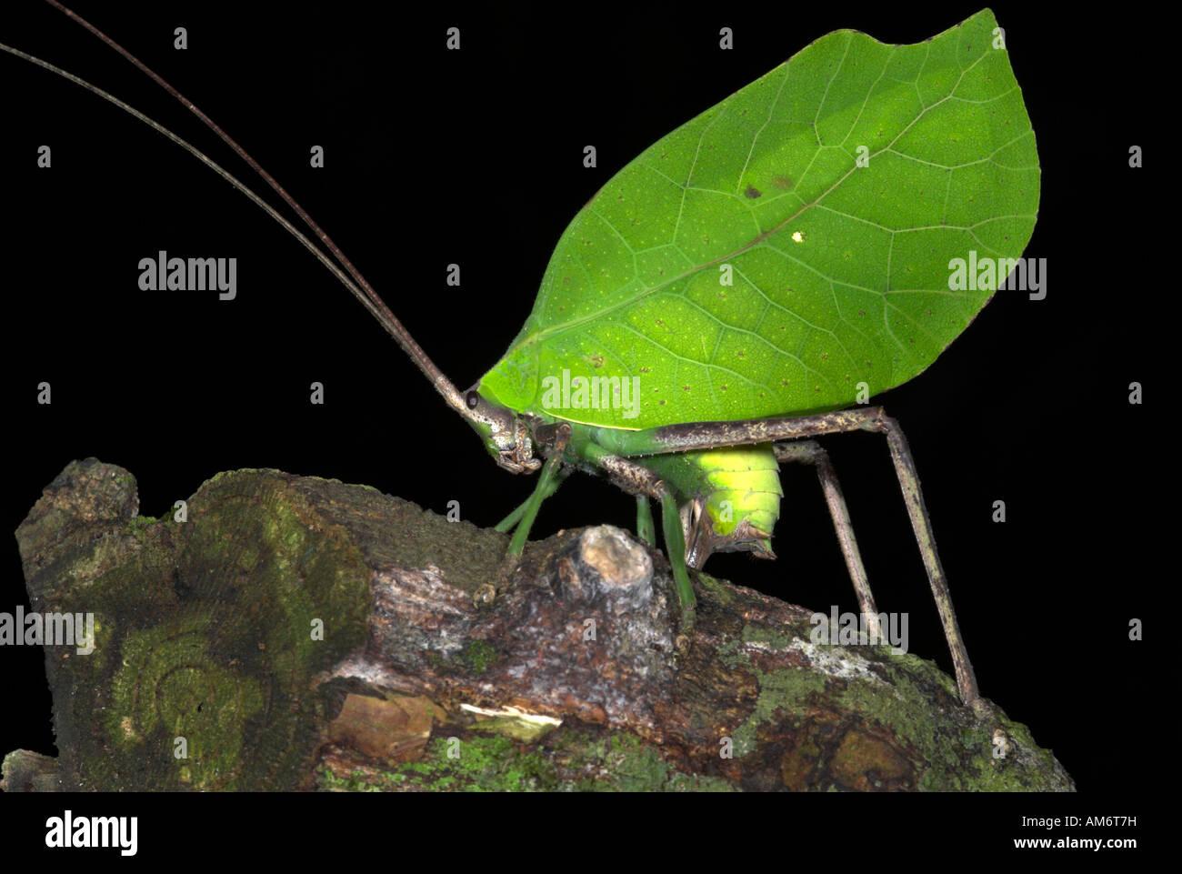 Leaf Grashuepfer Tettigoniidae SP. Manu Peru Stockbild