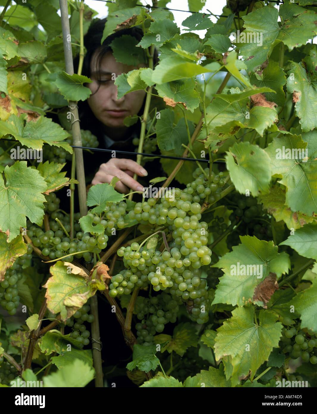 Nahaufnahme der Weintraube in Breaky unten Vinyard in East Sussex, England. Stockbild
