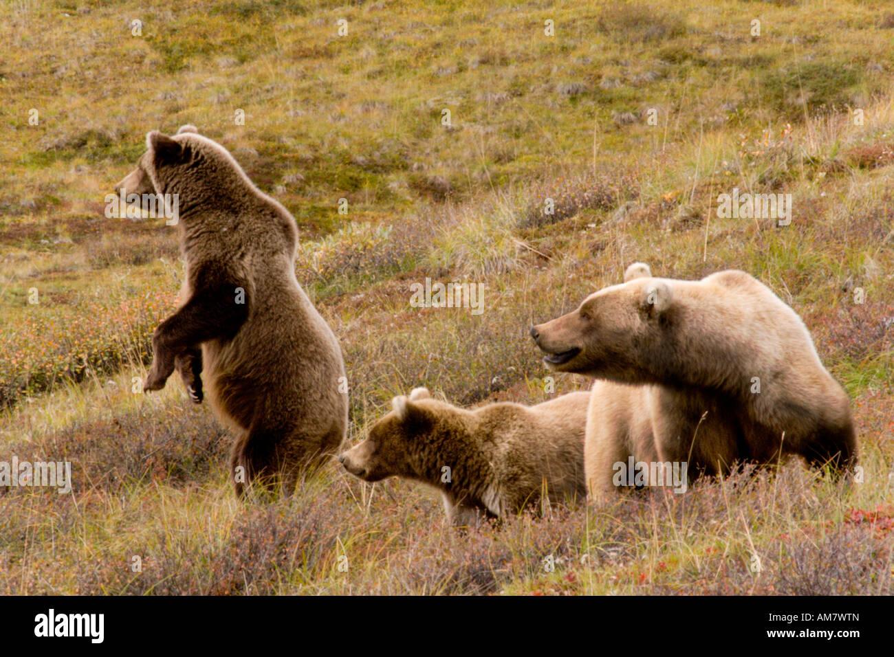 Grizzly Bären, Ursus Arctos Horribilis, weibliche und Jugendliche Bären, Alaska, USA Stockbild