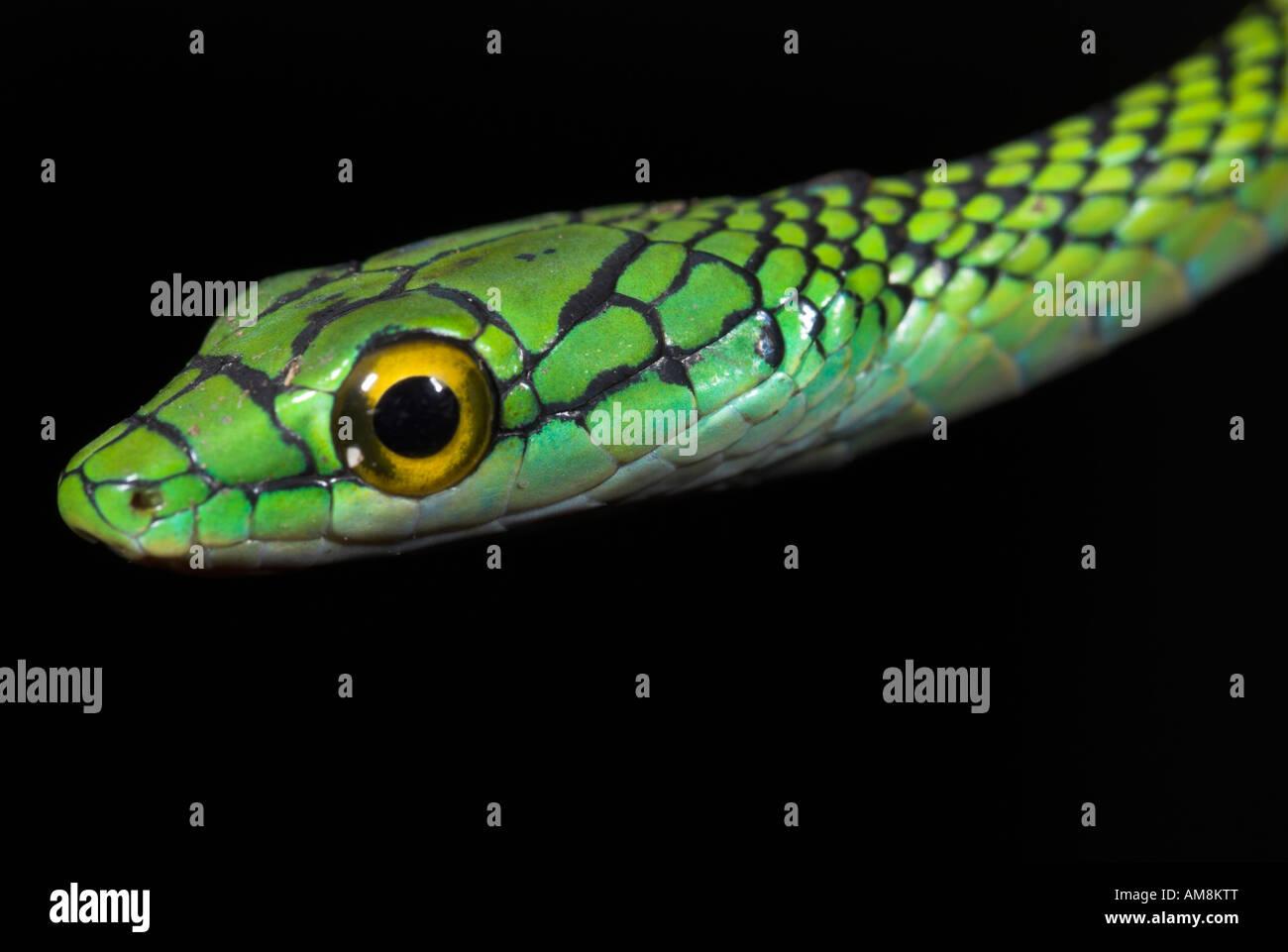 Schwarz gehäutet Papagei Schlange oder Green Parrot Schlange Leptophis Ahaetulla Nigromarginatus Iquitos Peru Stockbild