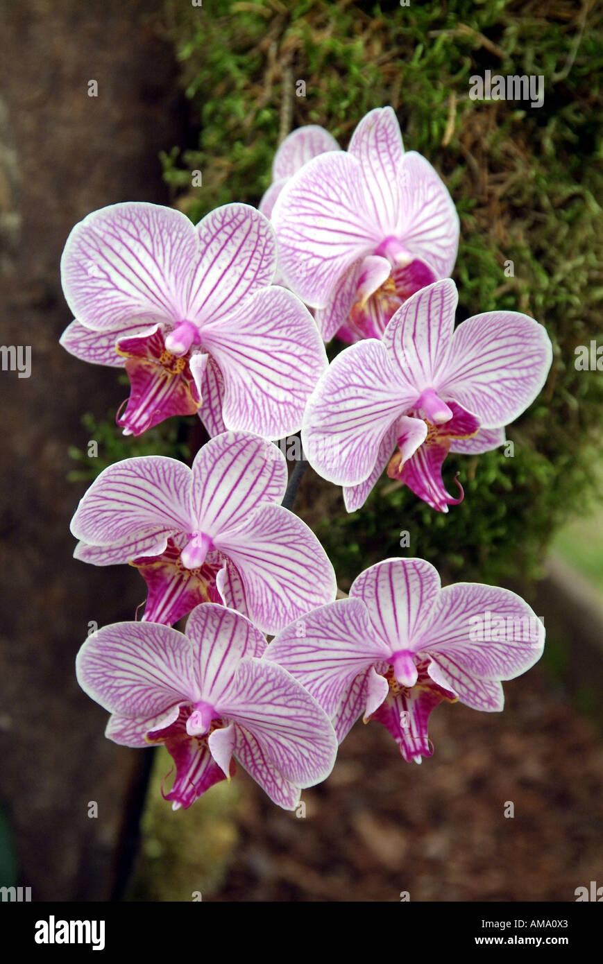 Orchideen Phalaenopsis Malibu Bistro epiphytisch terrestrischen Treibhaus tropische Blume Blumen Pflanze exotischen Osten Osten Spray Dschungel Stockfoto