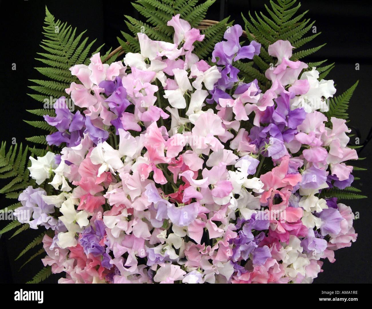 Haufen Masse lila weiß rosa lila gemischt Erbse jährliche Platterbse man Stockfoto
