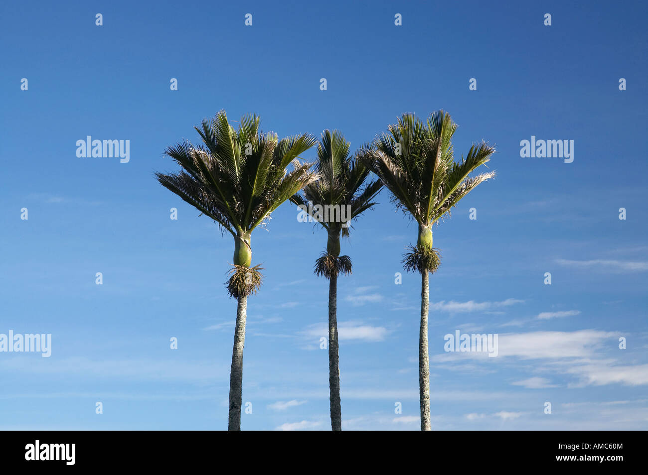Nikau-Palmen in der Nähe von Punakaiki Westküste Südinsel Neuseeland Stockbild