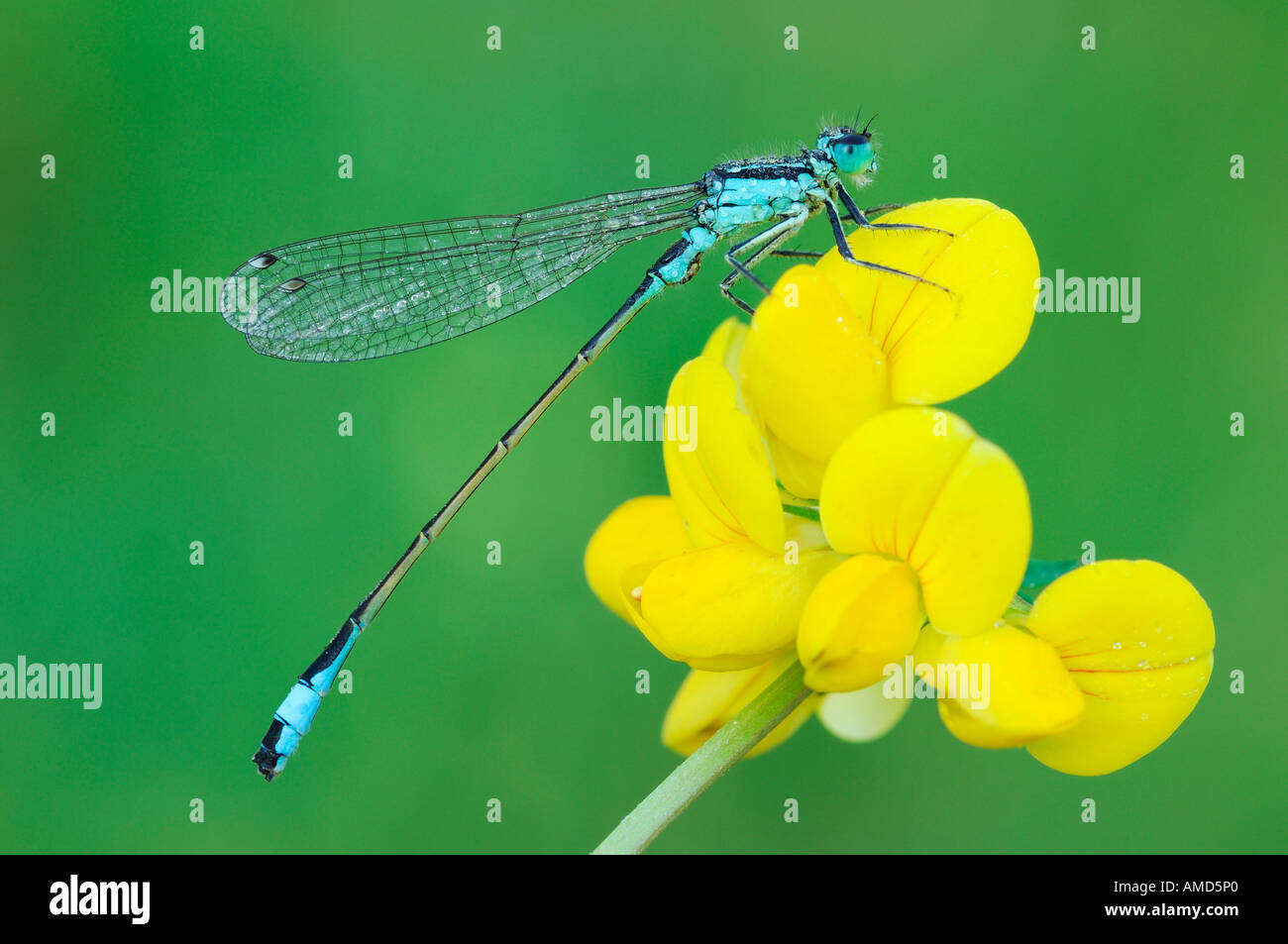 Damselfly auf Blume Stockfoto