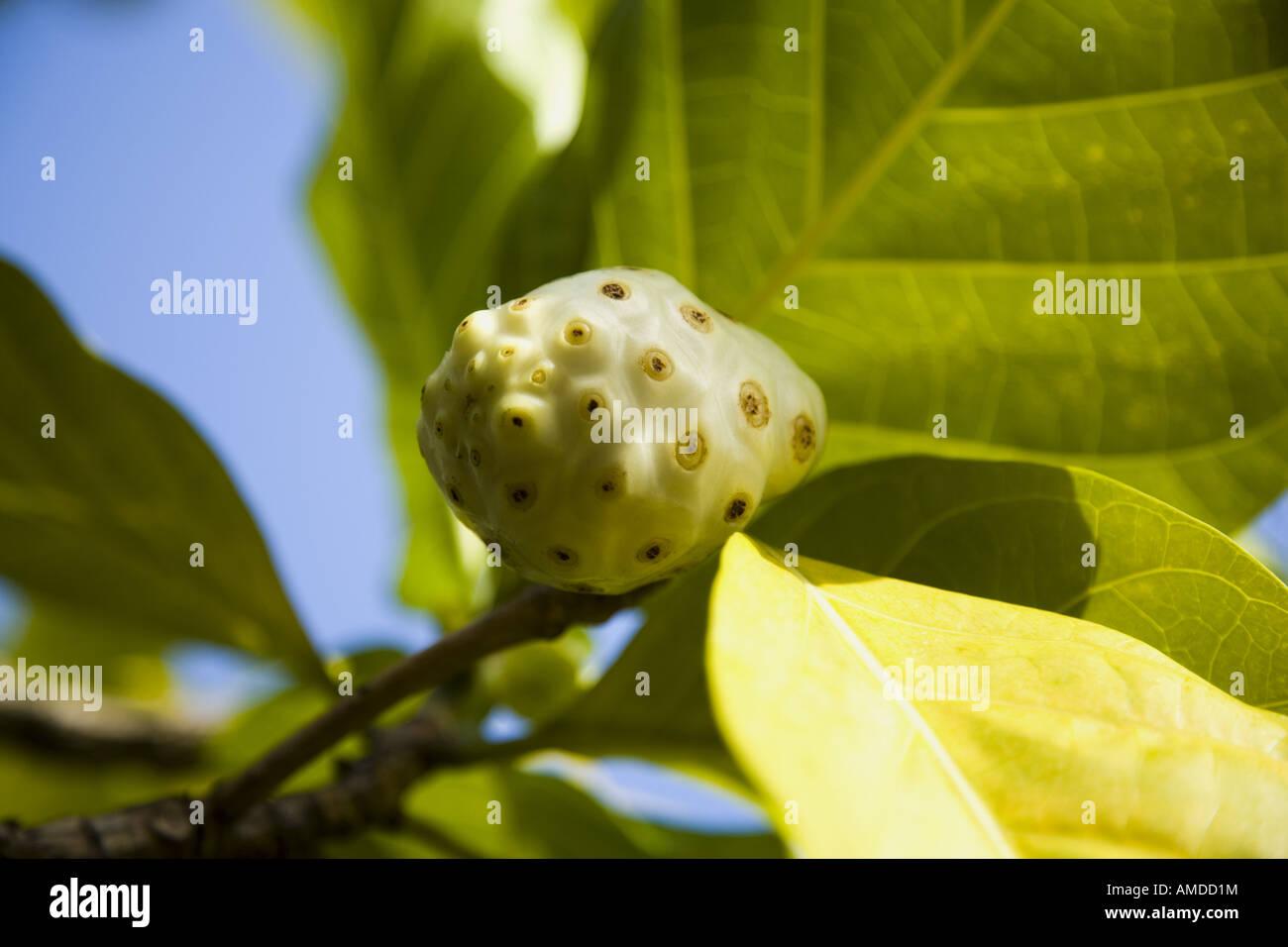 Detailansicht der Früchte am Baum Stockbild
