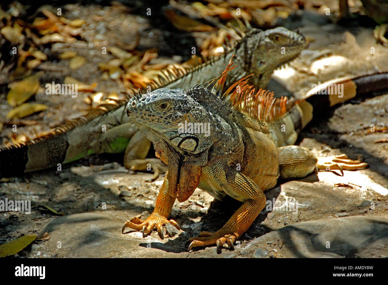 Nordamerika, Mexiko, Bundesstaat Guerrero, Ixtapa/Zihuatanejo & Zihuatanejo. Ixtapa/Zihuatanejo, wilde Leguane. Stockbild
