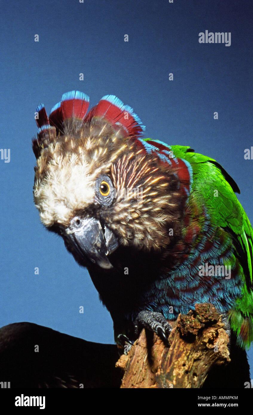 Papagei datiert