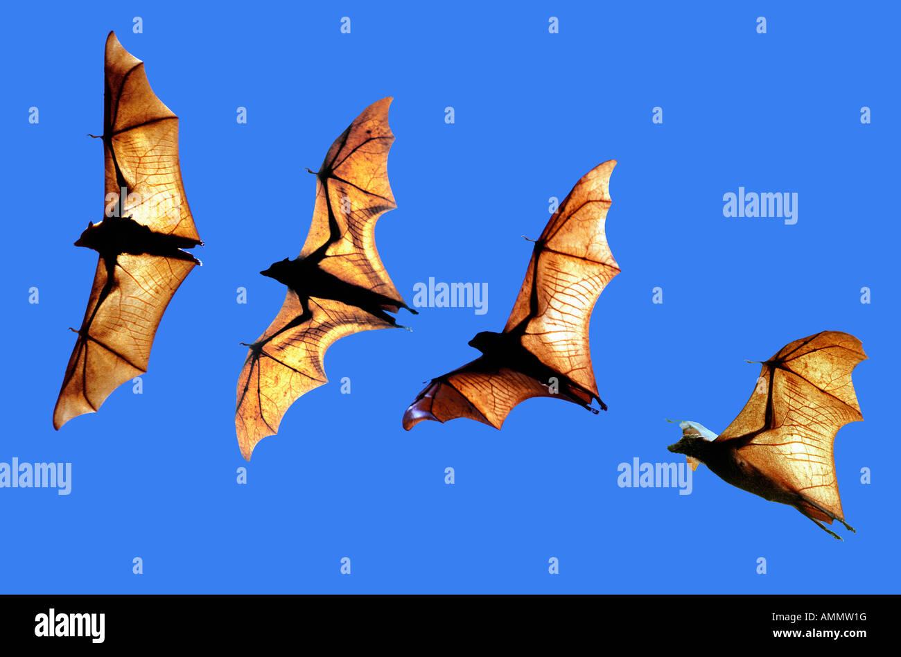 Roussette d Indonesie Pteropus Vampyrus große Flughunde Borneo Indonesien Asien Indonesien erwachsenen Tier Stockbild