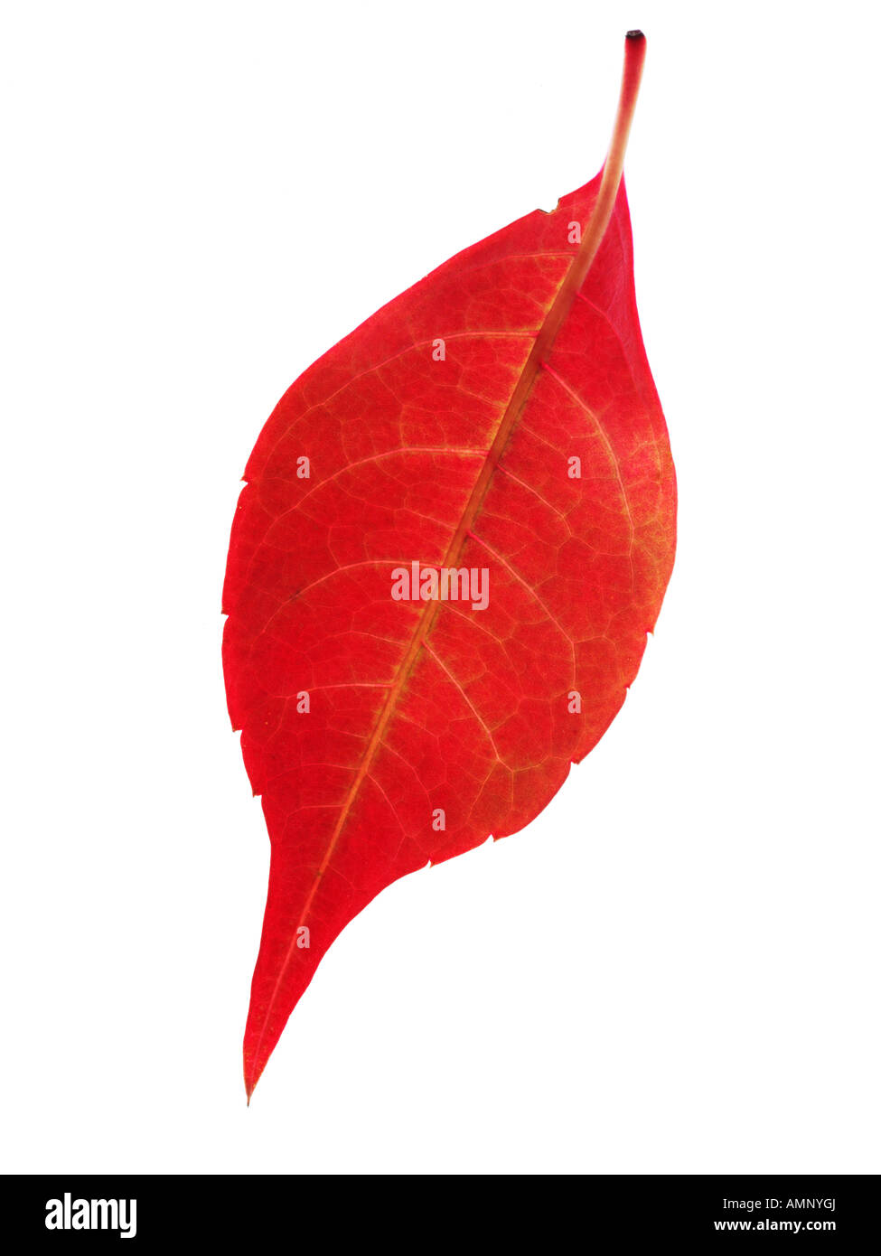 Herbst Blatt. Einzigen Fall Blatt gegen weiß. Natürliche Farben und Texturen. Stockbild