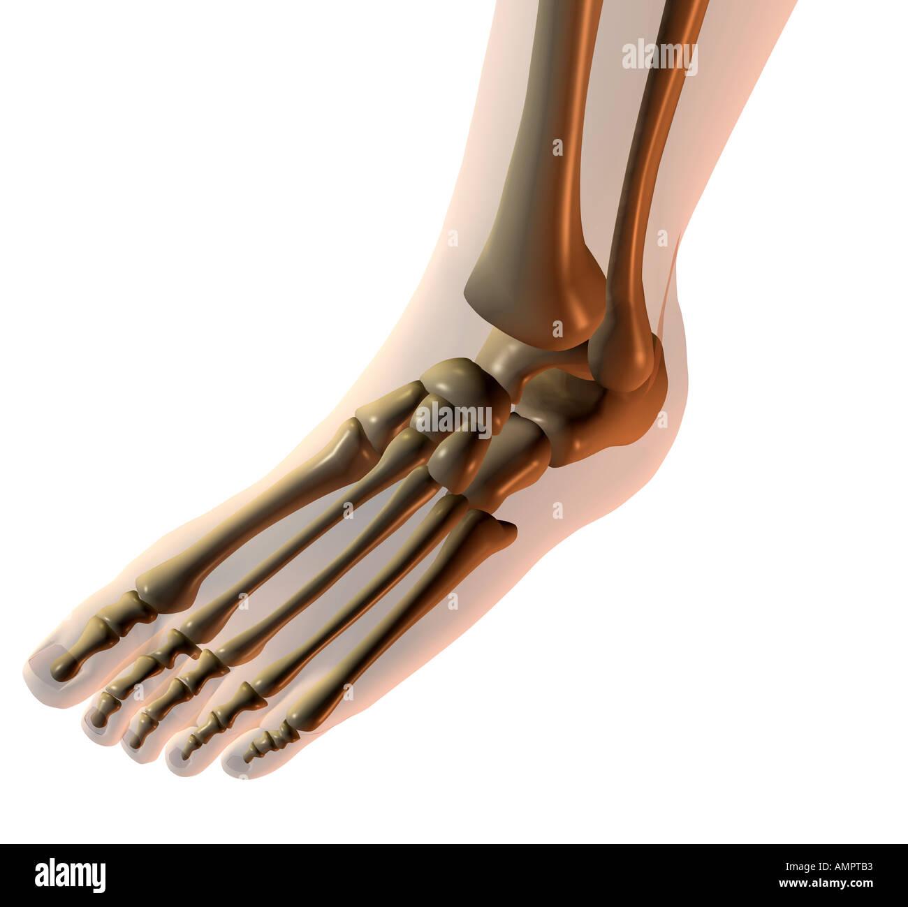 Anatomie-Fuß Stockfoto, Bild: 5001394 - Alamy