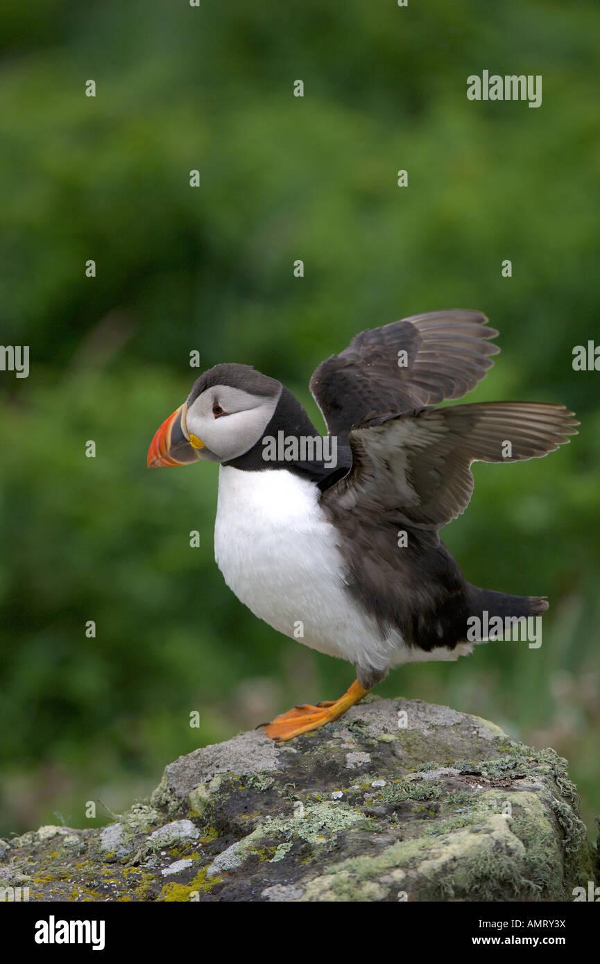 Papageitaucher Fratercula Arctica Sommer Erwachsener an Brutkolonie auf Skomer Island Pembrokeshire Wales Juni Stockbild