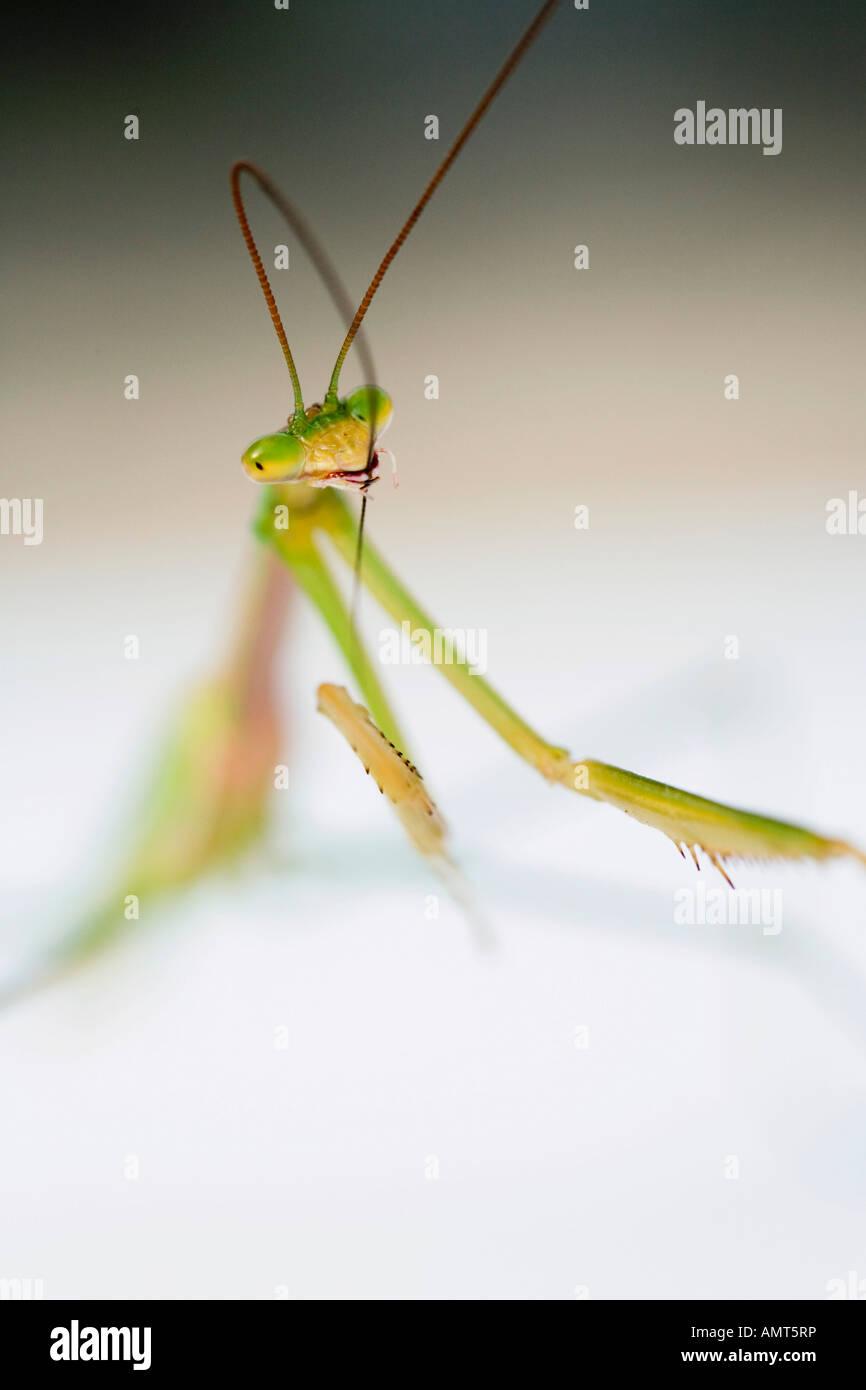 Praying Mantis Reinigung Antennen Stockbild