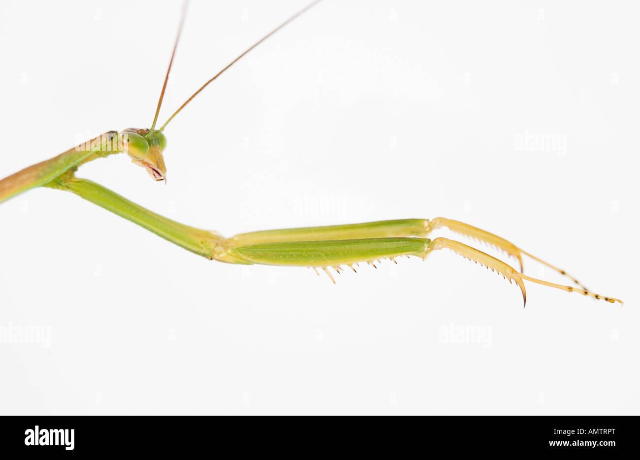 Praying Mantis Seite Ansicht Kopf und Krallen Stockbild