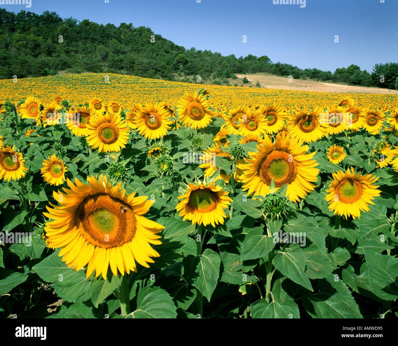 FR - PLATEAU DE VAUCLUSE: Feld von Sonnenblumen Stockbild