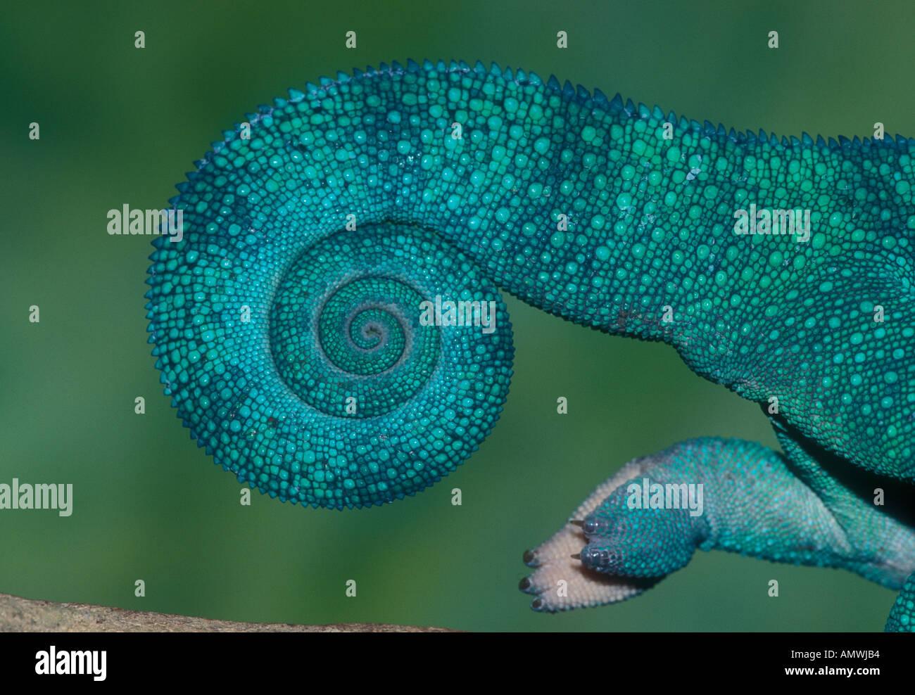 Heck des Pantherchamäleon (Furcifer pardalis) Madagaskar Stockfoto