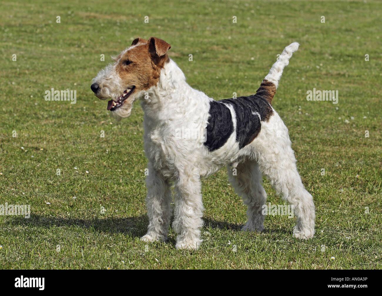 Pedigree Fox Terrier Stockfotos & Pedigree Fox Terrier Bilder ...