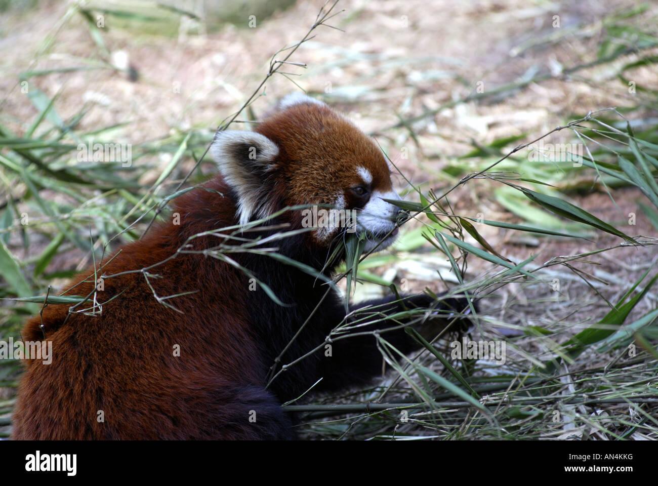 Rote Pandas Essen Bambus Chengdu China Stockfoto Bild 15410643