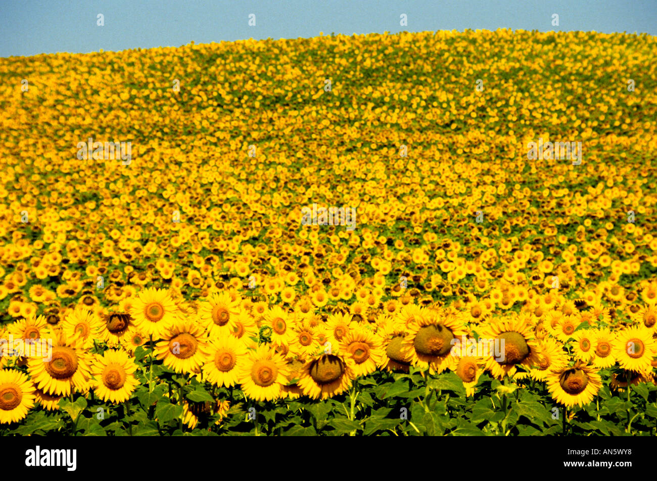 Sonnenblume Sonnenblumen Vincent Van Gogh Stockfoto Bild 8812663