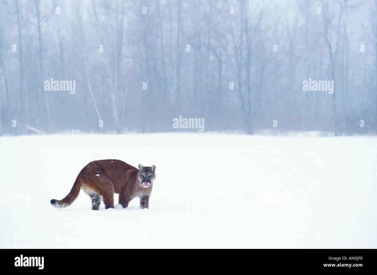 Berglöwe Puma Cougar Felis Concolor Minnesota USA Stockbild