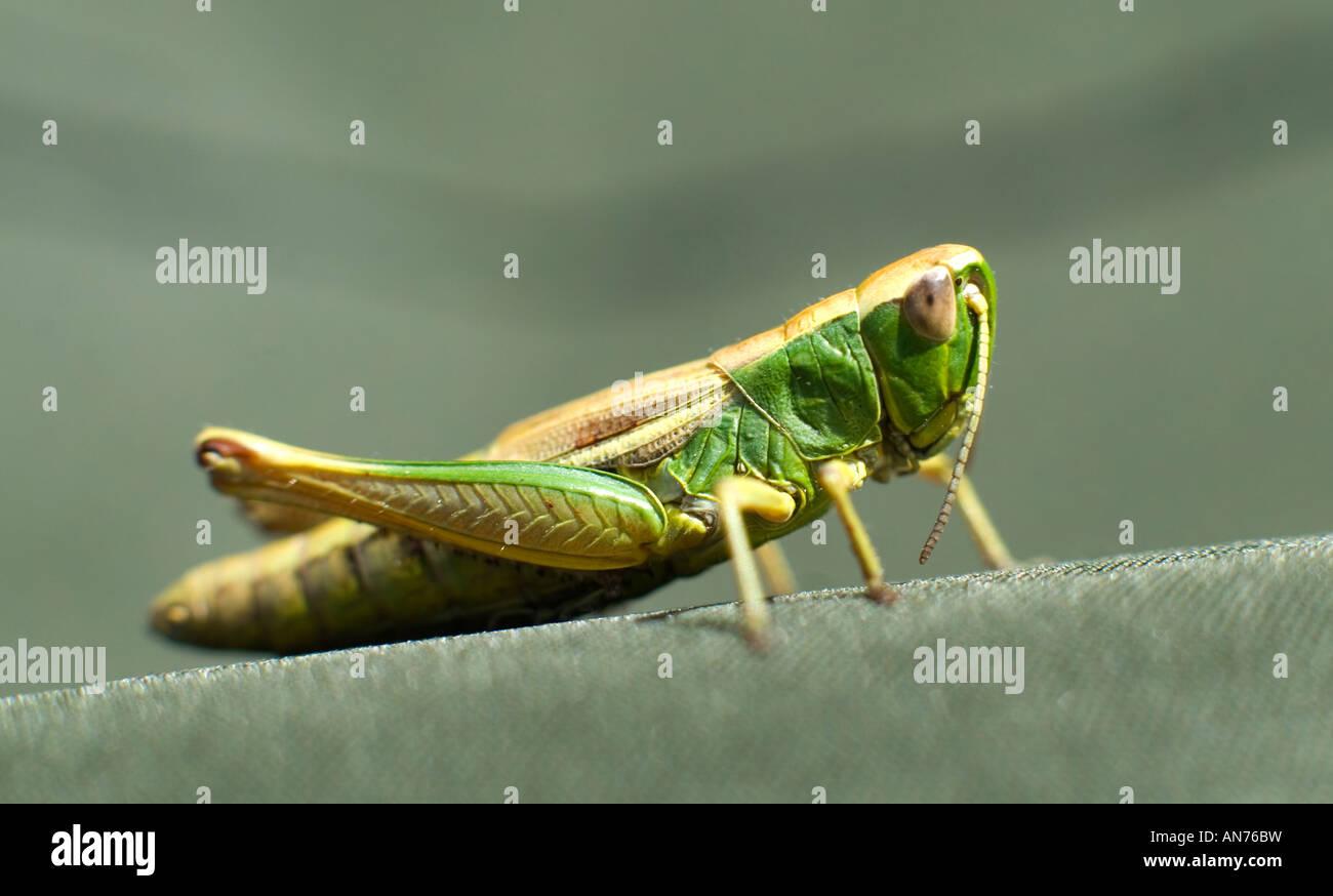 Grüne Heuschrecke auf Altholz häufig in Worcestershire Stockbild