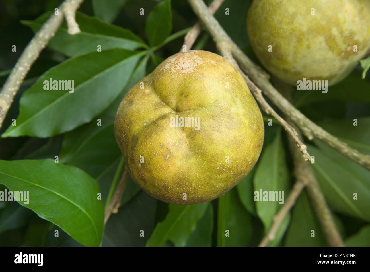 Weiße Sapote Obstbau auf Ast. Stockbild