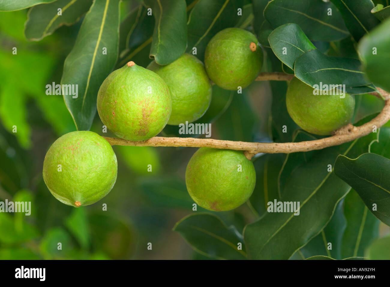 Reifende Macadamia-Nüssen auf Ast. Stockbild