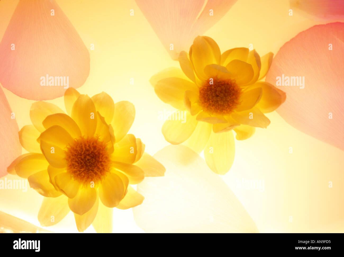 Blütenblätter 2 Stockbild